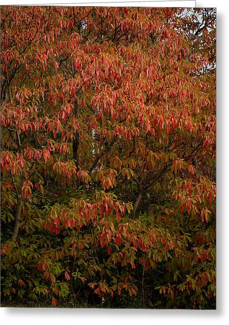 Greeting Card featuring the photograph Fall Sassafras Trees by Wayne Meyer