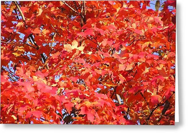 Fall Sugar Maple Greeting Card by John Wartman