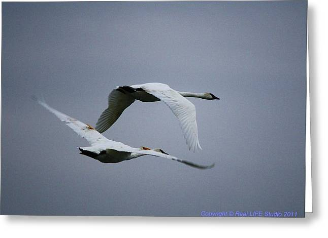 Greeting Card featuring the photograph Fall Swans by Al Fritz