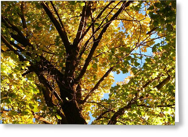 Fall View Through A Maple Greeting Card