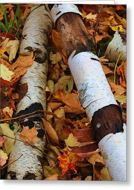 Fallen Birch Greeting Card by Alicia Knust