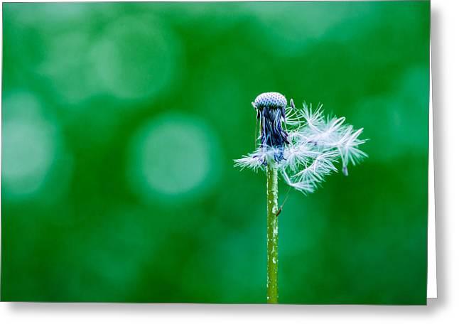 Fallen Off Dandelion - Featured 3 Greeting Card by Alexander Senin