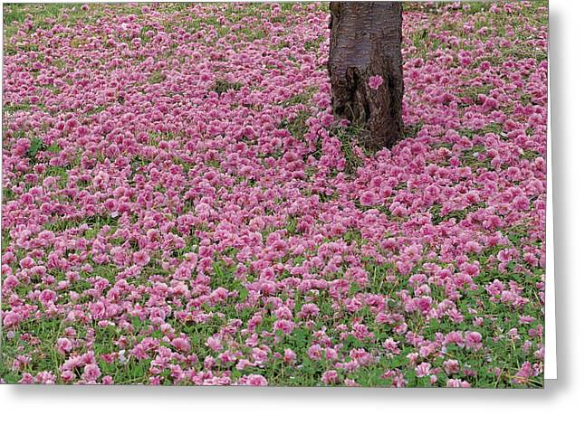 Fallen Sour Cherry Flowers Hokkaido Greeting Card by Masami Goto