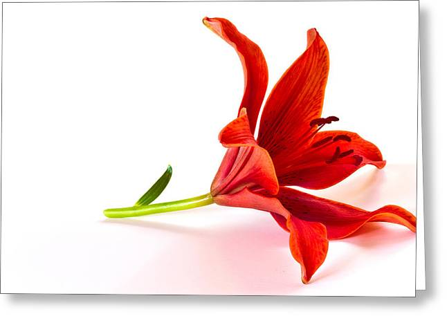 Fallen Tiger Lily Greeting Card