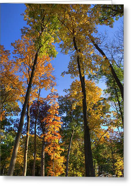 Greeting Card featuring the photograph Falling Up The Maples by Ed Cilley