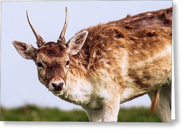 Fallow Deer Greeting Card