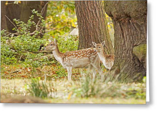 Greeting Card featuring the photograph Fallow Deer Woodland Scene by Paul Scoullar