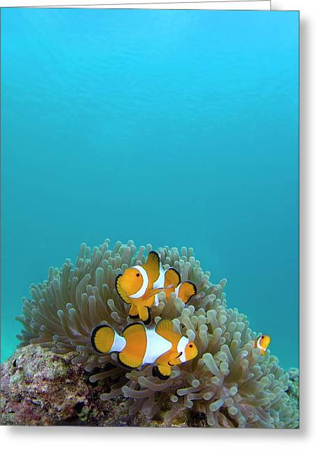 False Clown Anemonefish Greeting Card by Scubazoo