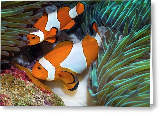 False Clownfish Spawning Greeting Card by Georgette Douwma