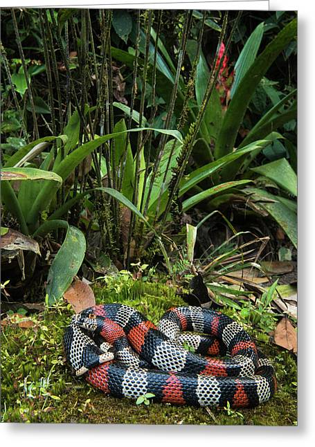 False Coral, Milk Snake (lampropeltis Greeting Card by Pete Oxford