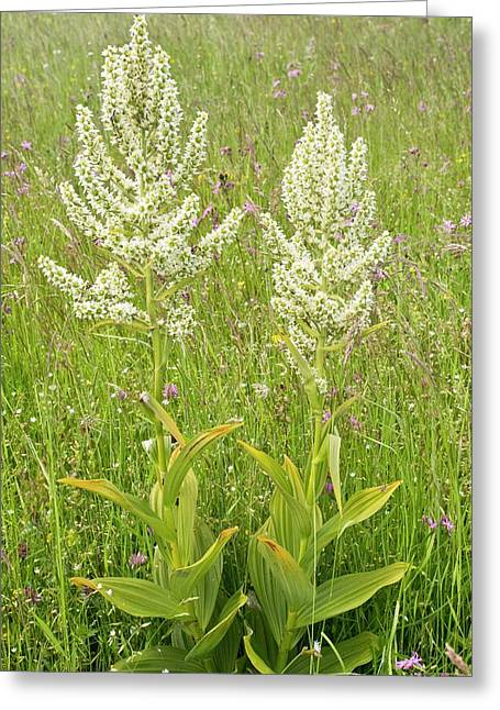 False Helleborine (veratrum Album) Greeting Card by Bob Gibbons