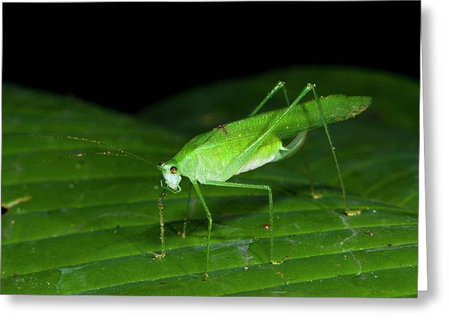 False Leaf Katydid Greeting Card