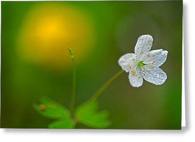 False Rue Anemone Greeting Card