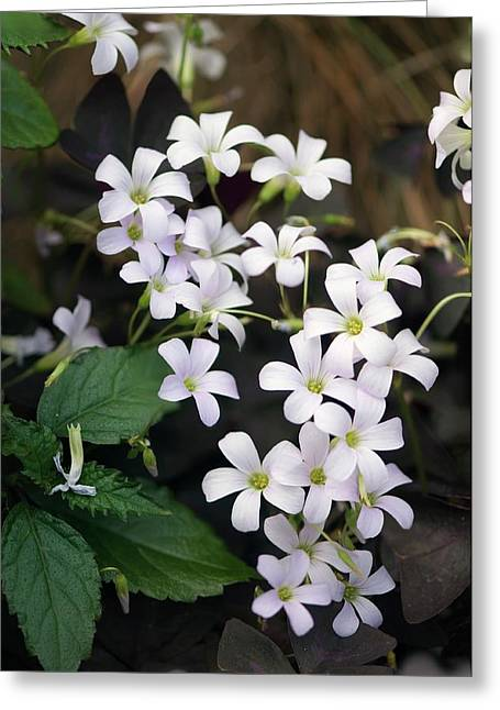 False Shamrock (oxalis Triangularis) Greeting Card by Maria Mosolova