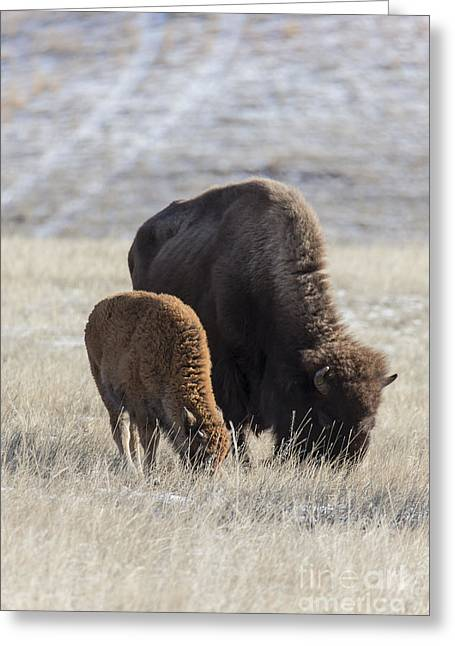 Bison Calf Having A Meal With Its Mother Greeting Card