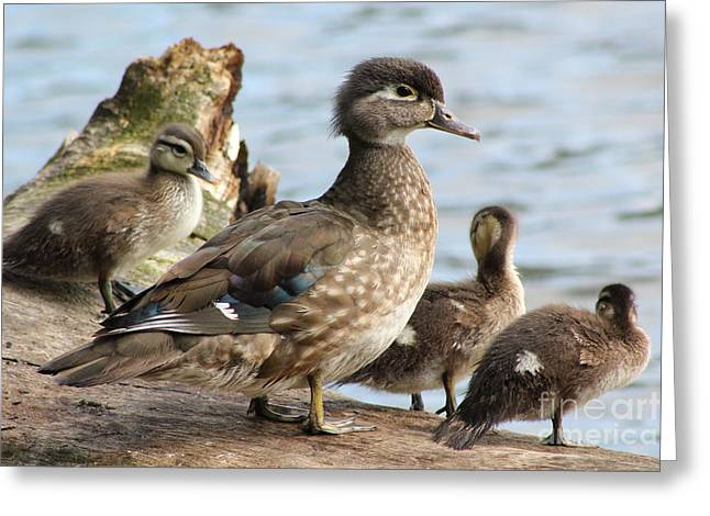 Family Of Ducks Greeting Card by Michael Paskvan
