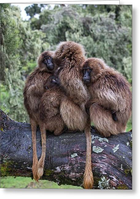 Family Of Gelada Baboons Huddled Together Greeting Card
