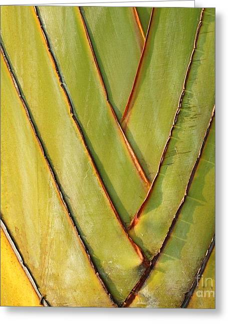 Fan Like Leaves Of The Traveler Palm Greeting Card