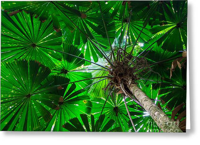 Greeting Card featuring the photograph Fan Palm Tree Of The Rainforest by Peta Thames