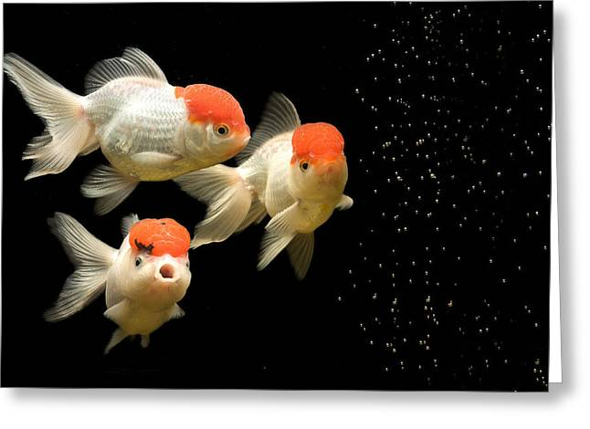 Fancy Goldfish Greeting Card