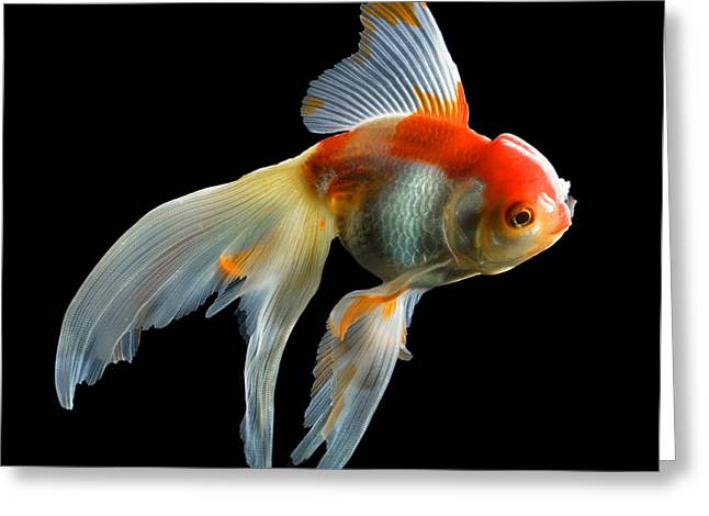Fantail Goldfish Greeting Card