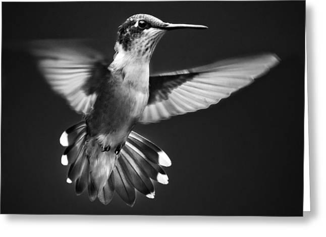 Fantail Hummingbird Greeting Card by Christina Rollo