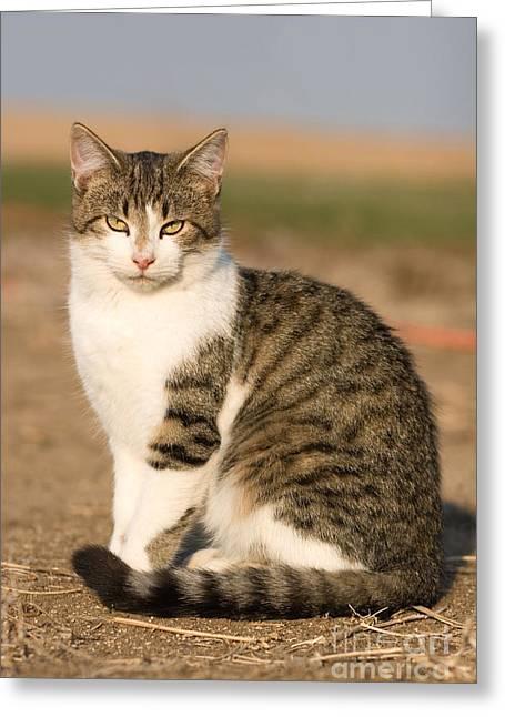 Farm Cat Greeting Card by Cindy Singleton