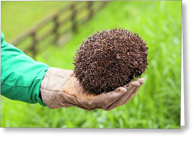 Farmer Rescues Hedgehog From Cattle Grid Greeting Card by Ashley Cooper