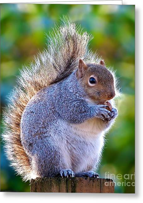 Fat Squirrel Greeting Card by Mark Miller