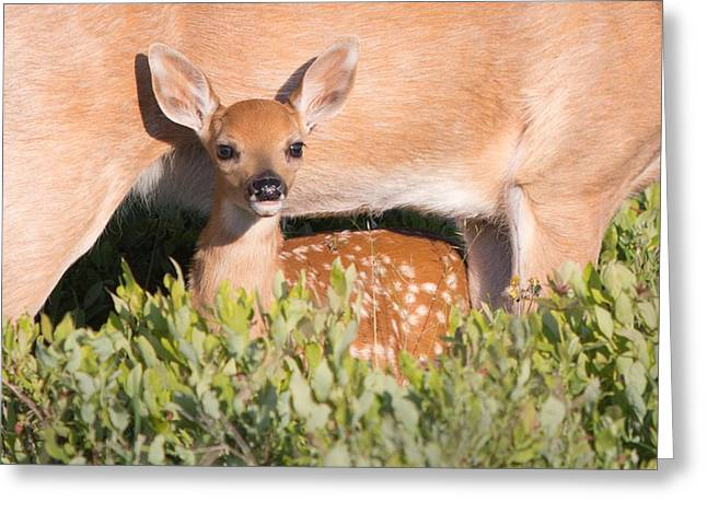 Fawn And Mom Greeting Card