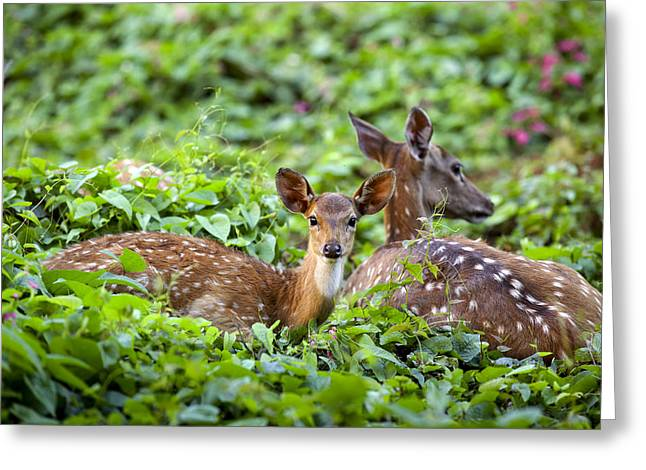 Fawn And Mother Deer In Forest Greeting Card