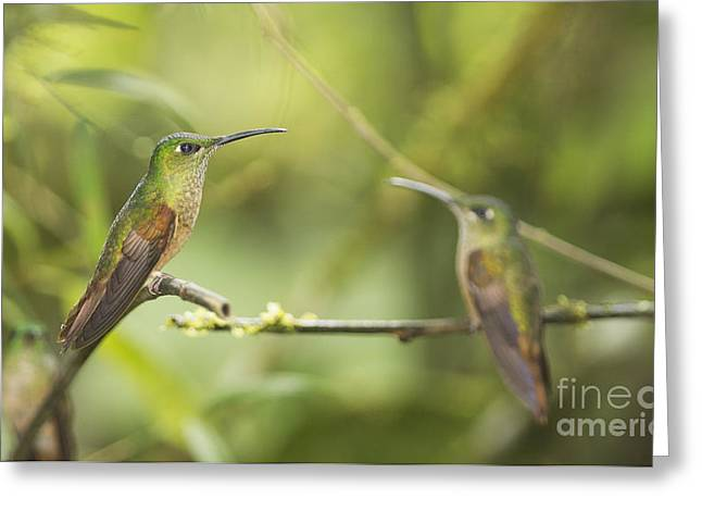 Fawn-breasted Brilliant Hummingbirds Greeting Card by Dan Suzio