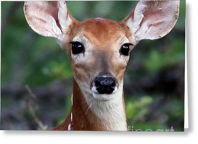 Fawn  Greeting Card by DS Dodd