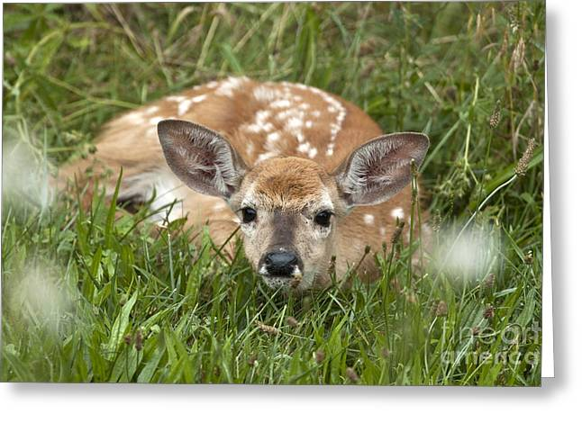 Fawn Greeting Card by Jeannette Hunt