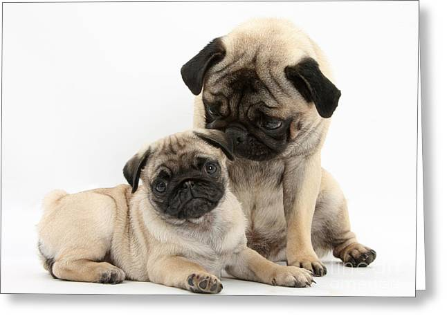 Fawn Pug Dog And Puppy Greeting Card