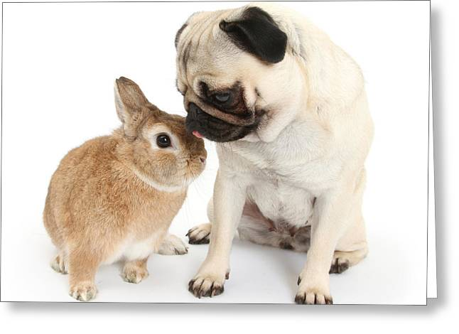 Fawn Pug With Netherland-cross Rabbit Greeting Card
