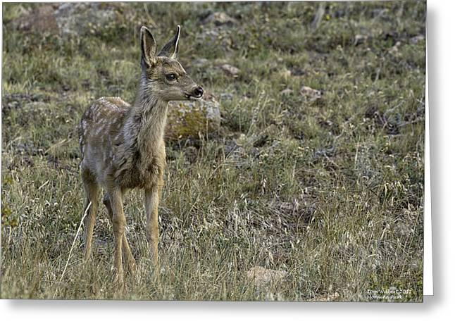 Fawn Greeting Card by Tom Wilbert