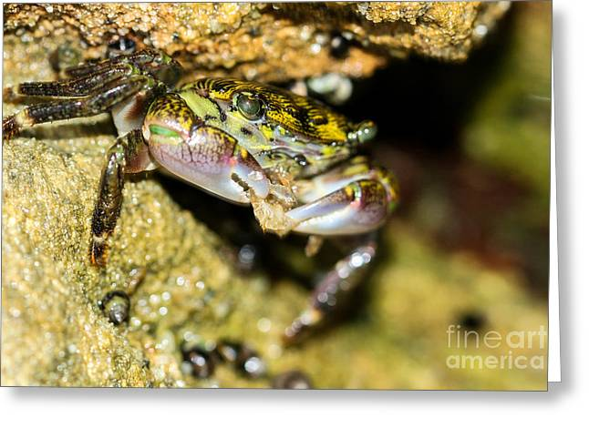 Feasting Crab Greeting Card by Michelle Burkhardt