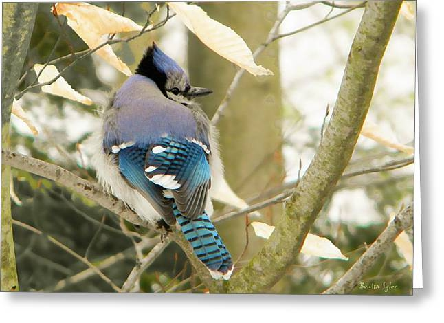 Feather Focused Blue Jay Greeting Card by Bonita S Sylor