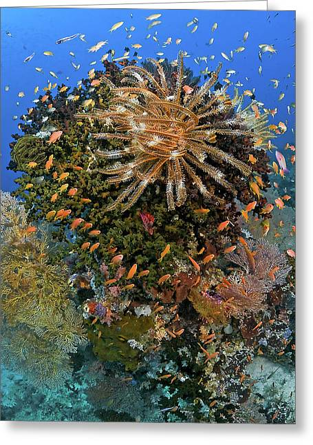Feather Star (crinoidea Greeting Card by Jaynes Gallery