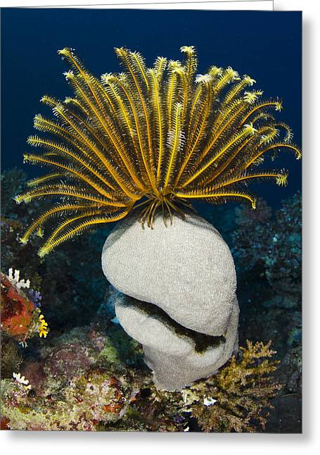 Feather Star On Rainbow Reef Fiji Greeting Card by Pete Oxford