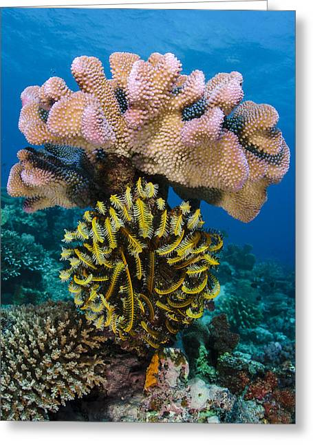 Feather Star Rainbow Reef Fiji Greeting Card by Pete Oxford