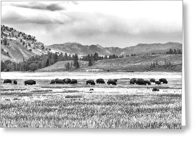 Feeding Bison And Scenic View  Greeting Card
