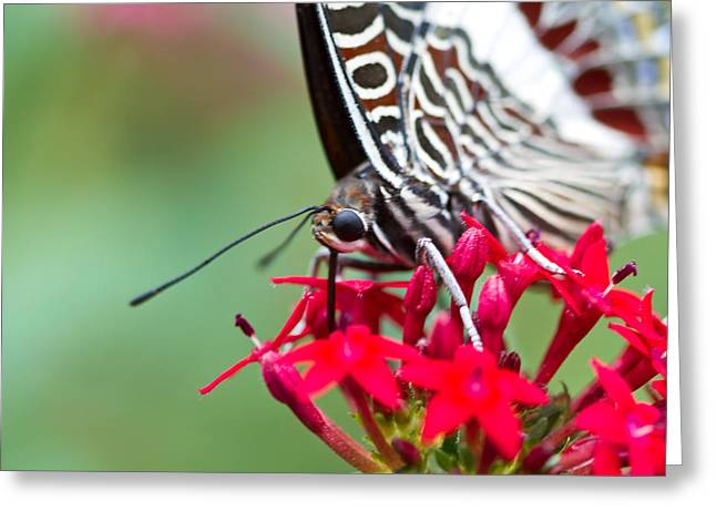 Greeting Card featuring the photograph Feeding Butterfly by John Hoey
