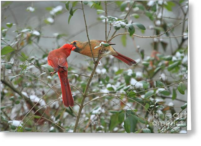 Feeding Cardinals Greeting Card by Geraldine DeBoer