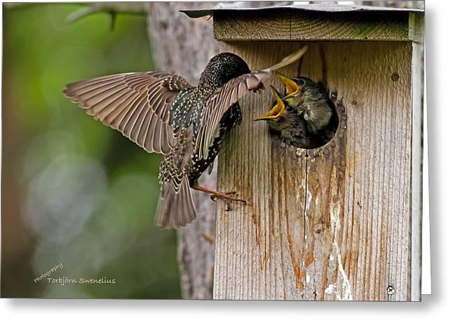 Feeding Starlings Greeting Card