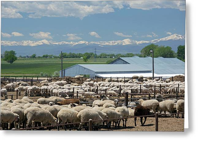 Feedlot Sheep Greeting Card by Jim West