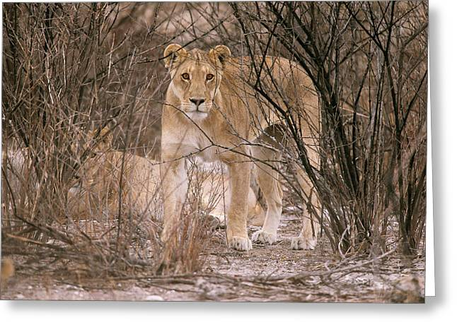 Female African Lion Greeting Card by Simon Booth