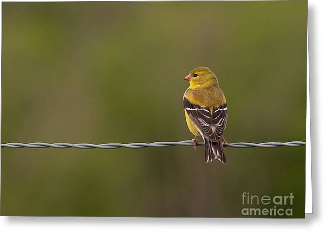 Female American Goldfinch Greeting Card by Douglas Stucky