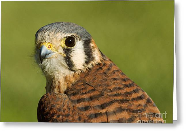 Greeting Card featuring the photograph female American Kestrel by Doug Herr